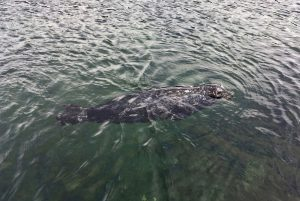 Harbour seal swims in water