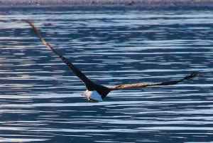 Bald eagle flies along the water