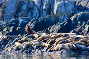 Sea lions on rocks at Mittlenatch Island, BC