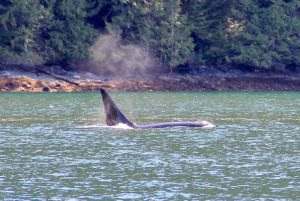 Killer whale surfaces and blows near shore
