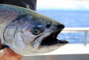 Closeup of chinook salmon face