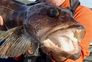 Closeup of lingcod held by man in orange sweater
