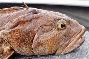 Head of lingcod on boat deck