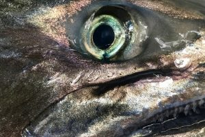 Closeup of chinook salmon eye and teeth