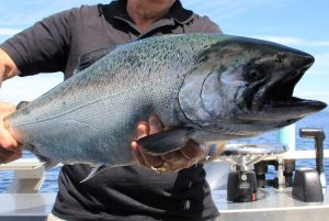 Close up of chinook salmon