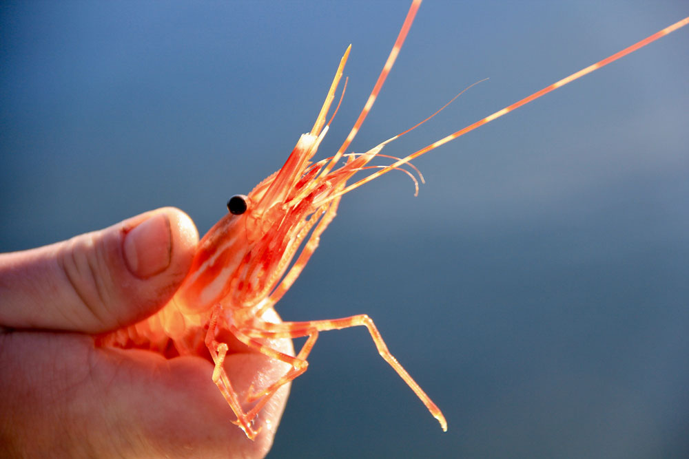 Man holds spotted prawn in hand