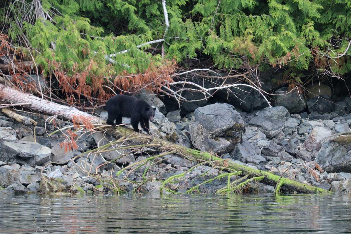 Coastal Black Bear on a Log