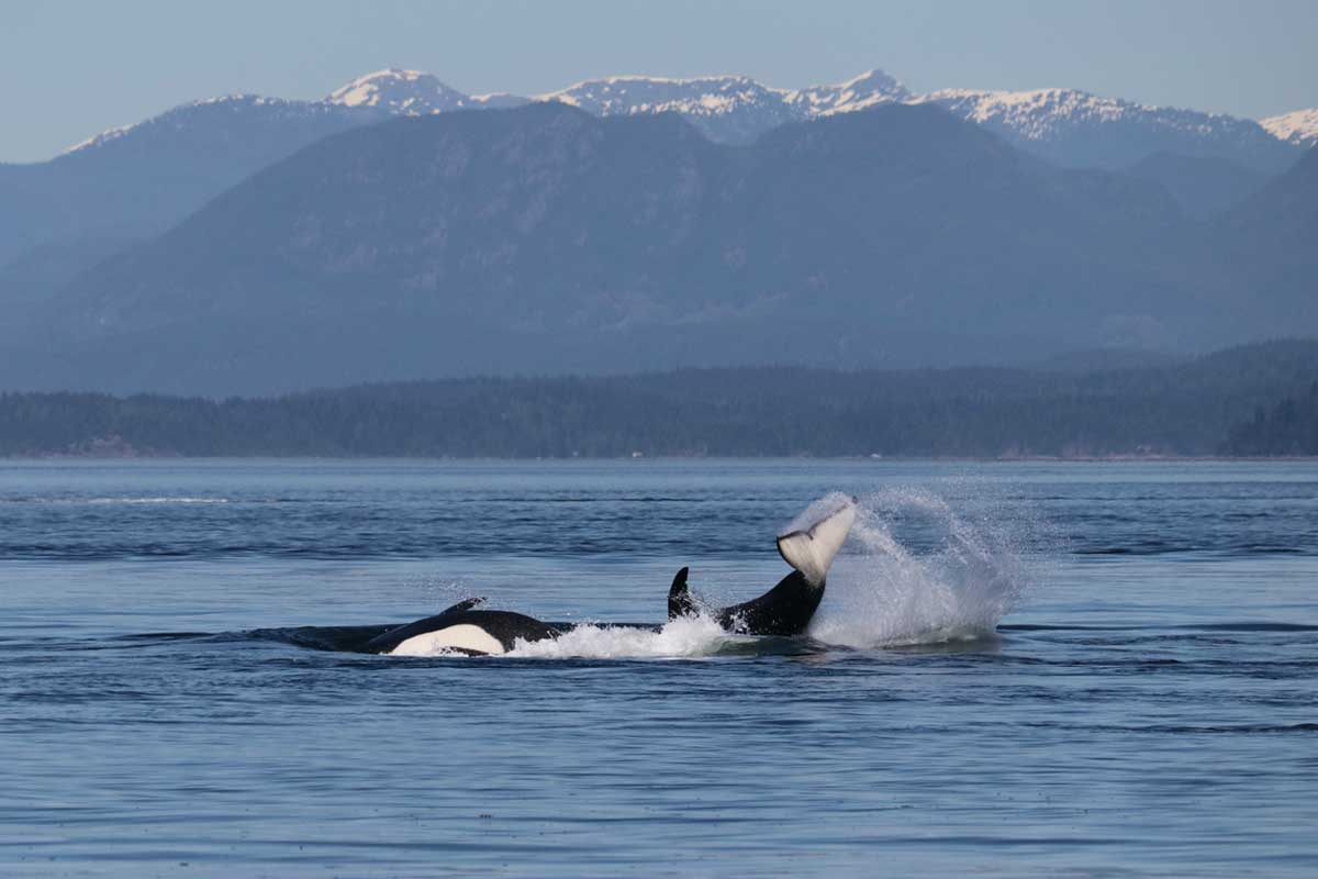 Killer whales and coastal mountains